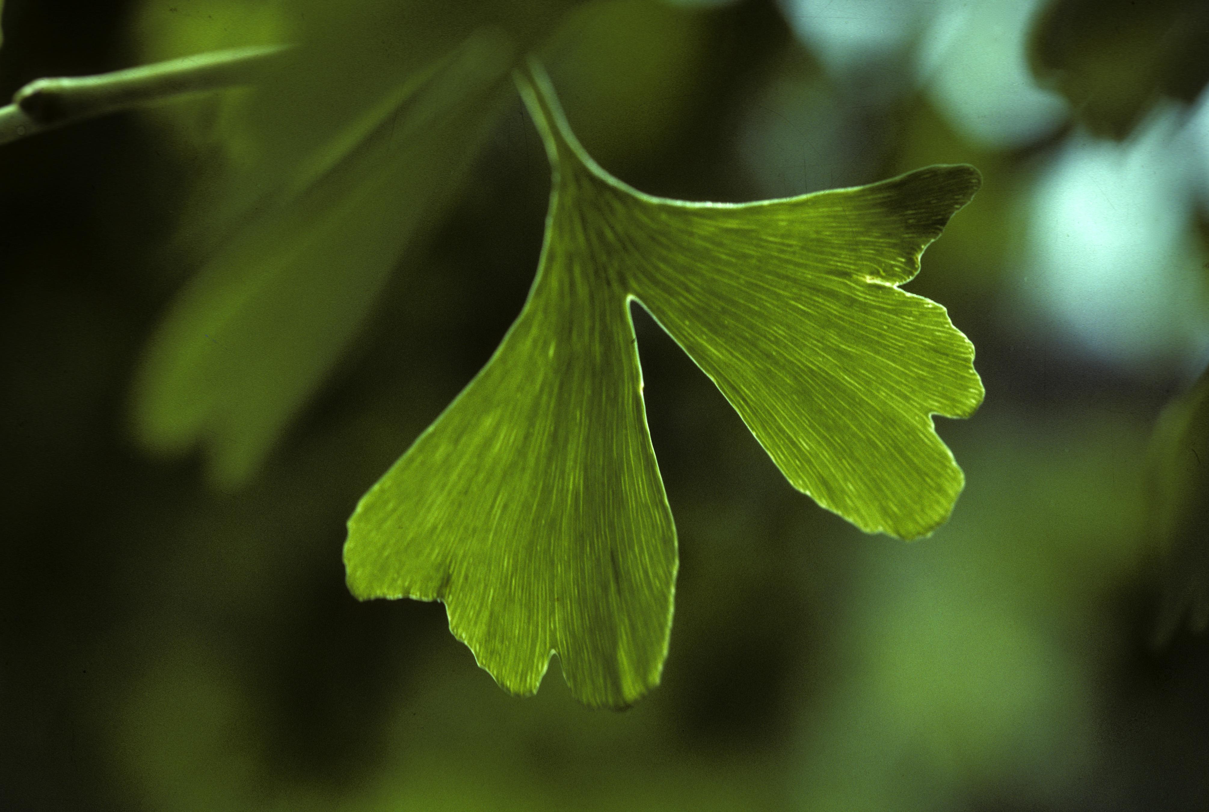Gingko leaf, Ginkgo biloba