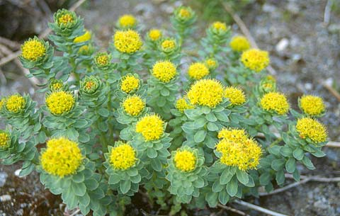 Rhodiola Rosea The Adaptogenic Herb that Gives a Natural Brain